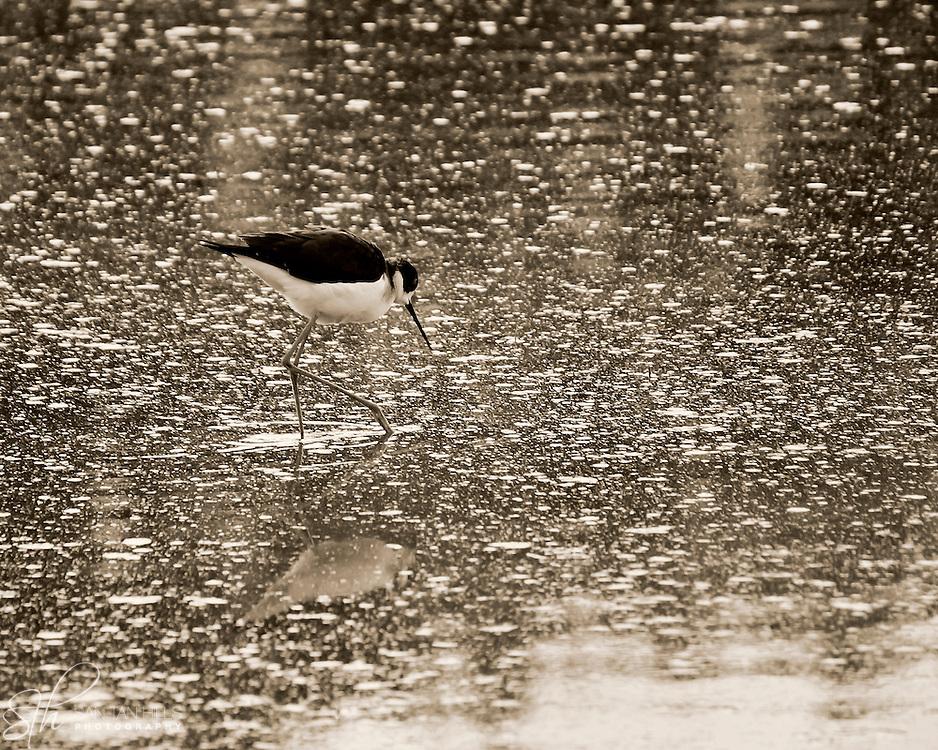Small bird walking in pond - Riparian Preserve, Gilbert, AZ