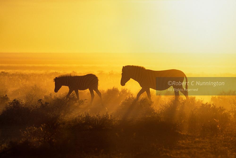 A thirsty zebra mare (equus burchellii) and her foal trek towards the Okaukeujo waterhole in the blistering heat of an Etosha morning. Etosha National Park, Namibia