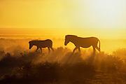 A thirsty zebra mare (equus burchellii) and her foal trek towards the Okaukeujo waterhole in the blistering heat of an Etosha morning.