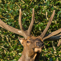 huge bull elk feeding in leafy trees