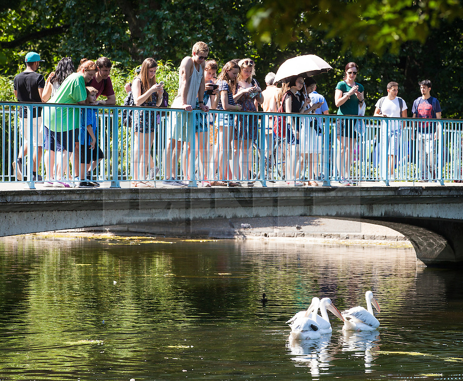 © Licensed to London News Pictures. 19/07/2016. London, UK. Pelicans cool off in the lake in St. James's Park as people watch from the bridge. Temperatures in the capital soared to 32 degrees celsius, the hottest day of the year so far. Photo credit: Rob Pinney/LNP