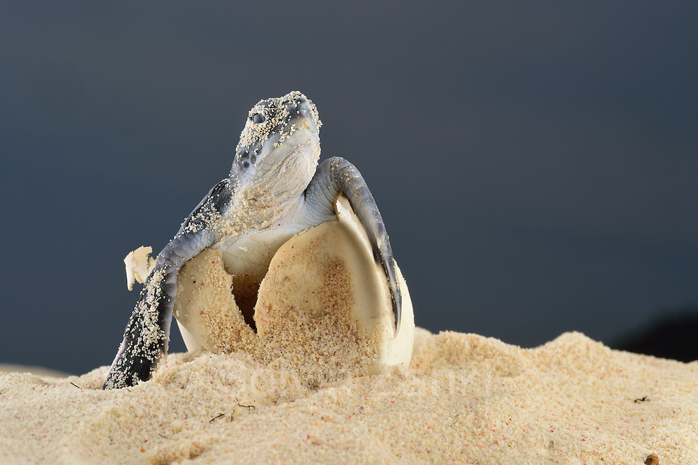 The hatchlings of the Green sea turtle (Chelonia mydas) struggle hard to hatch out of their egg shells, emerge from the sand and find their direction once they reached the surface. | Die junge Grüne Meeresschildkröte (Chelonia mydas) kämpft sich aus ihrer Eierschale. Über 50 Tage hat der warme Sand das Ei ausgebrütet.