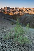 Large Sagebrush (Artemisia tridentata) in the arid valleys of the Badlands plateau