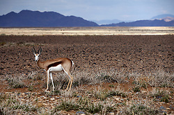 NAMIBIA SOSSUSVLEI 21APR14 - General view of a Springbok in the Sossusvlei in the Namib Desert, Namibia.<br /> <br /> Sossusvlei is a salt and clay pan surrounded by high red dunes, located in the southern part of the Namib Desert, in the Namib-Naukluft National Park, which is one of the major visitor attractions of Namibia.<br /> <br /> jre/Photo by Jiri Rezac<br /> <br /> © Jiri Rezac 2014