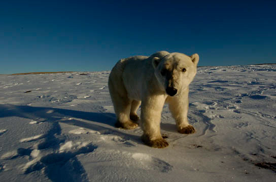 Polar Bear (Ursus maritimus) A male wandering at Cape Churchill on the shores of Hudson Bay near Churchill, Manitoba. November. Canada. Winter.