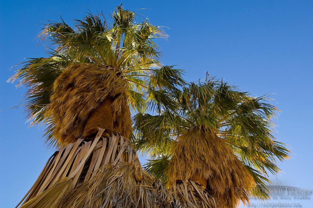 Desert Fan Palm trees (Washingtonia filifera) at 17 Palms Oasis, Anza Borrego Desert State Park, San Diego County, California