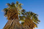 Desert Fan Palm trees (Washingtonia filifera) at 17 Palms Oasis, Anza Borrego Desert State Park, San Diego County, California
