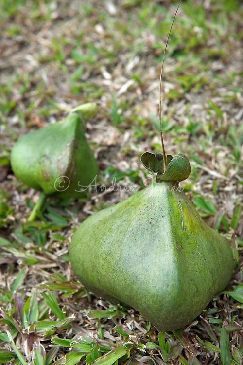 Barringtonia asiatica (Beach barringtonia, Fish-killer tree, Putat Laut, Sea Putat) seed pods. Singapore Botanic Garden.