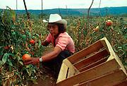 MEXICO, AGRICULTURE Tomato harvest, Cuernavaca