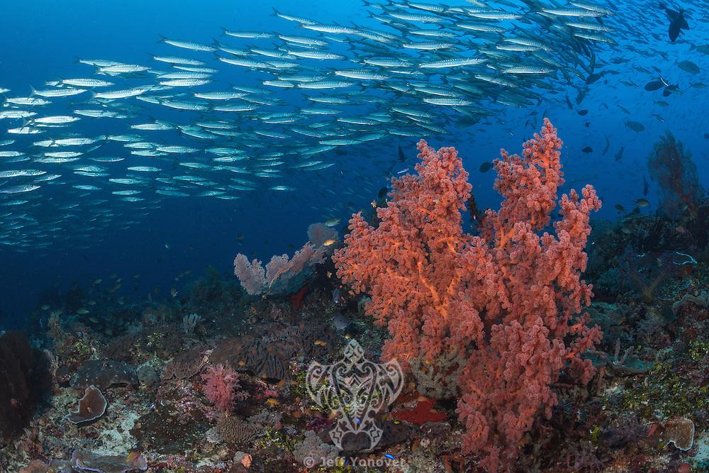 Blackfin Barracudas schooling above colorful Sea Fans<br /> Shot in Indonesia