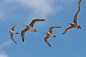 Bar-tailed Godwit Pictures - Photos