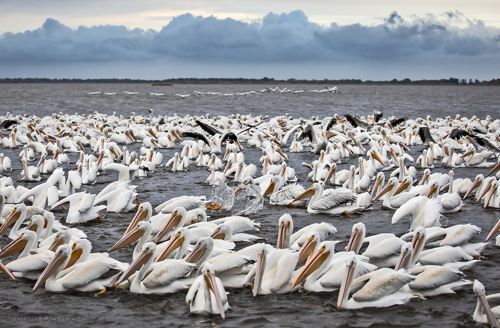 On Dec. 11, 2018 a flock American white pelicans fishing off Island road near the Isle de Jean Charles in Terrebonne Parish. American white pelicans are cooperative hunters that amass as a tight group and churn the water with their wings and bills to herd schools of fish into shallow water. Once the fish are cornered, the pelicans will bob their bills underwater and scoop up the fish.