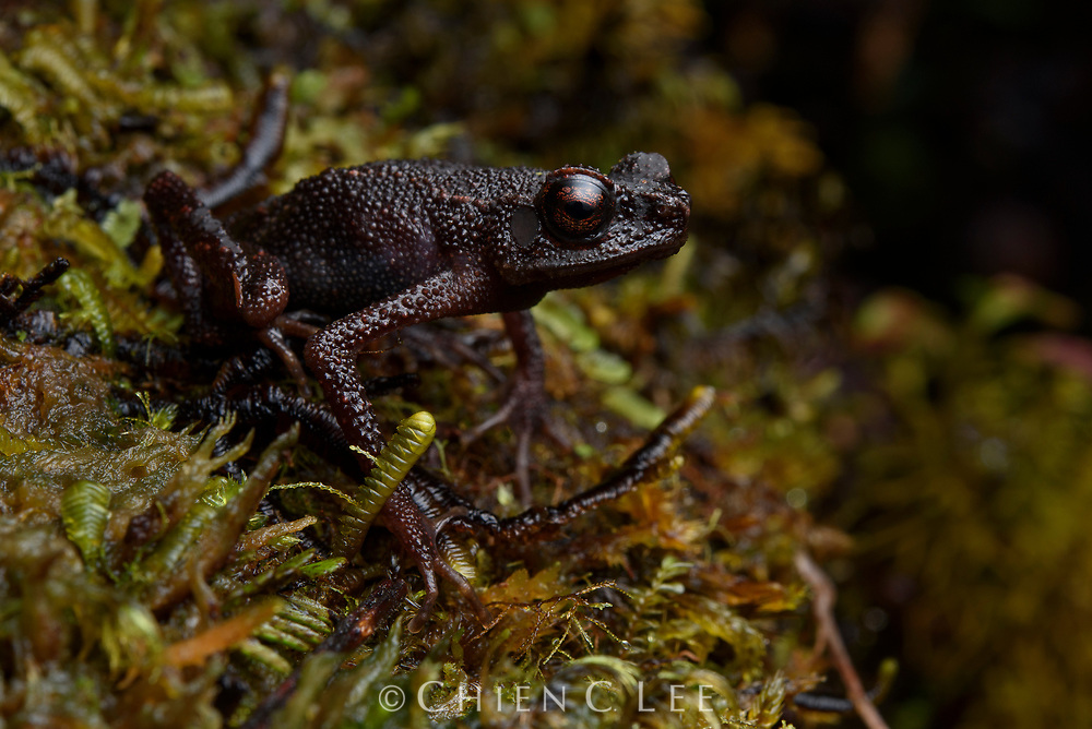 Endemic to the summit of a single mountain in Borneo, the extremely rare Widow Slender Toad (Ansonia vidua) is known from only a handful of specimens, all of which are female.