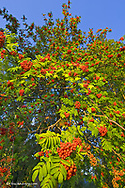 Mountain ash tree with ripe berries near the end of summer in Whitefish Montana