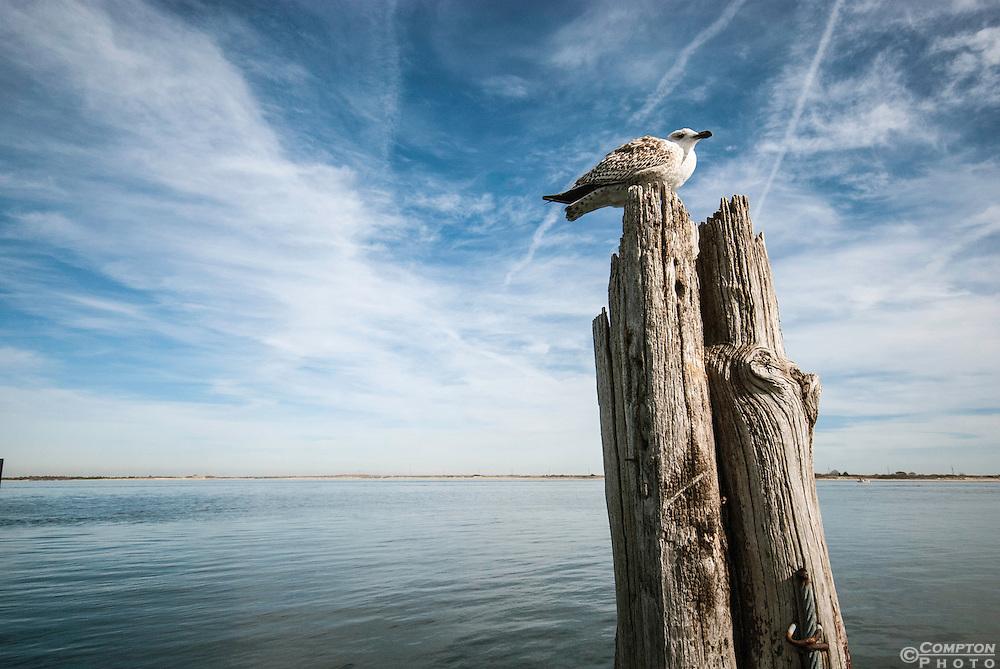 Herring gull resting.