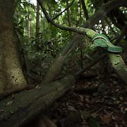 Pope's Pit Viper (Trimeresurus popeiorum) in Kaeng Krachan national park, Thailand