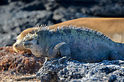 Marina Iguana with Sea Lion