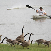 A remote controlled boat and kayaker Bill Mitchell, a wildlife game management foreman with the Kentucky Department of Fish and Wildlife Resources, pushes a group of Canada geese towards shore where a group of volunteers corralled them to be banded at Jacobson Park in Lexington, Ky., on Tuesday July 1, 2014. Around 475 geese were banded at the park and at a farm in Fayette County as part of a population study. Under the direction of the Department of Fish and Wildlife, each year at this time in various locations around the state, when the geese are molting and unable to fly, they are rounded up, banded, their genders identified and quickly released. Photo by David Stephenson