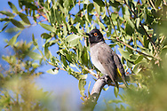 A redeyed bulbul perches on a tree in early morning light, Windhoek, Namibia.