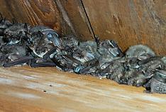 Vleermuizen, Bats