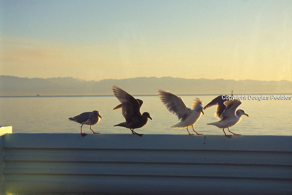 Seagulls<br />
