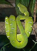 The Emerald Tree Boa (Corallus caninus) is found in the rainforests of South America, in the the Amazon Basin region of Colombia, Ecuador, Peru, northern Bolivia, Brazil, and from Venezuela to Surinam and the Guianas within the Northern Shield. It is green to camouflauge itself against predators. The color pattern typically consists of an emerald green ground color with a white irregular interrupted zigzag stripe or so-called 'lightning bolts' down the back and a yellow belly. Juveniles vary in colour between various shades of light and dark orange or brick-red before ontogenetic coloration sets in and the animals turn emerald green (after 9-12 months of age). The are not venomous, and instead kill small animals by constriction, for food. Photographed in the Woodland Park Zoo, Seattle, Washington.