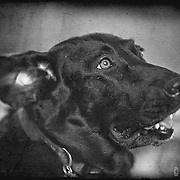 Scenes from Stafford, Kansas My aunt's black labrador.