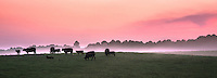 Cows graze in the twilight as the sun sets. Rolling fog from a recent rain flows through the valleys.