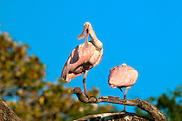 Roseate Spoonbill perched in a tree in florida against blue sky. Scientific name Platalea ajaja.