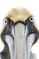 A large brown pelican stares at the camera in the Florida Keys at a bird sanctuary near Marathon.