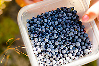 Blueberry picking Belknap Mountain, Gilford, NH.  ©2017 Karen Bobotas Photographer