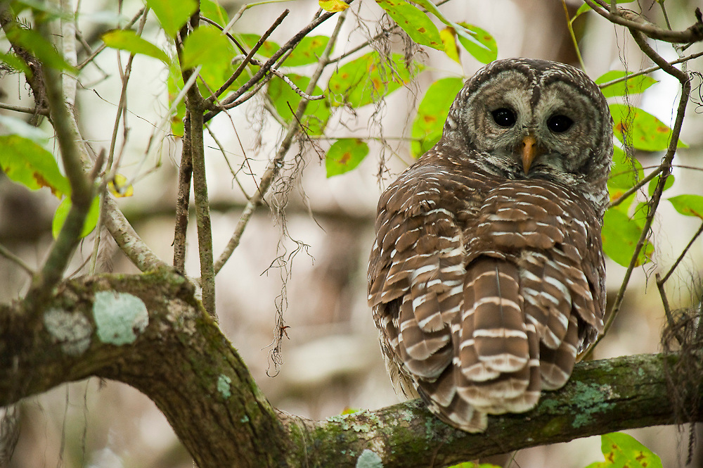 Barred Owl (Strix varia) photographed along the banks of the Loxahatchee River in Jupiter, FL. This owl species is common along the entire east coast of the United States.