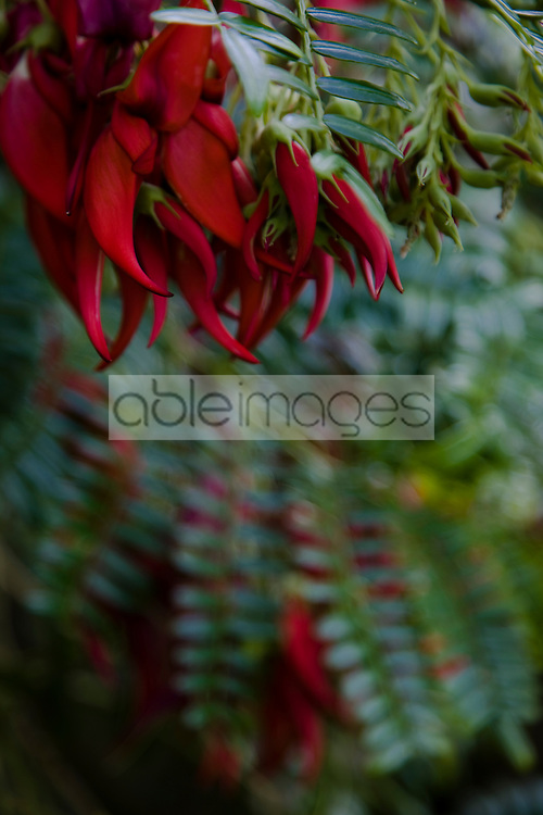Red lobster claw                     Clianthus puniceus