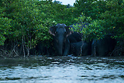These elephants have traditionally lived in the hilly forests far behind the mangroves. Recently as the mangrove cover has increased they have begun to come to the water to play (it is too saline to drink). The dense mangroves allow them to hide from humans, and escape into quickly. They are extremely rare to see, within WIF it was the 2nd sighting ever.