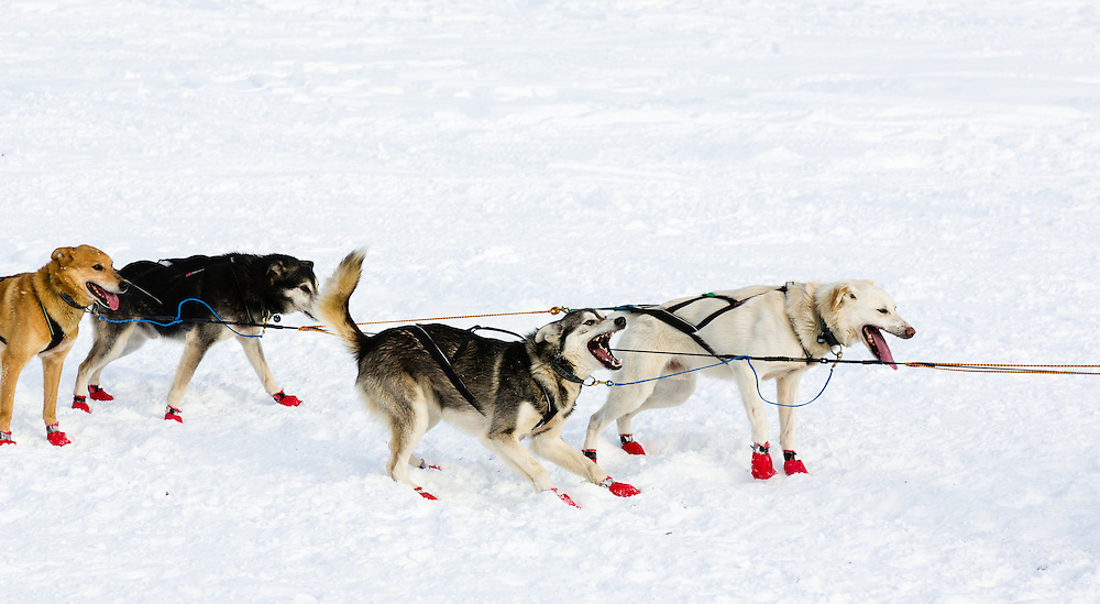Musher Cindy Abbott's dogs competing in the 41st Iditarod Trail Sled Dog Race on Long Lake after leaving the Willow Lake area at the restart in Southcentral Alaska.  Afternoon.