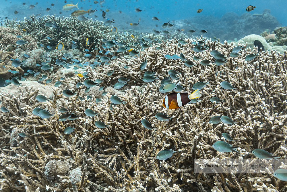 Staghorn coral-Corail corne de cerf (Acropora cervicornis), Nusa Penida island, Bali, Indonesia.