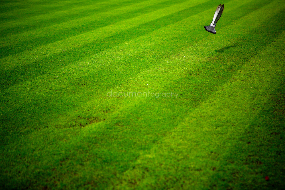 A pigeon flies away on one of the grass courts of Wimbledon