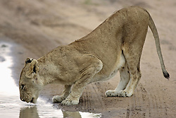 July 6, 2015 - African Lion, lioness drinking, Sabie Sand Game Reserve, South Africa / (Panthera leo) / side, freistellbar (Credit Image: © Tuns/DPA/ZUMA Wire)