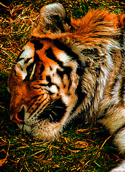 A Sleepy Amur Tiger at the Saint Louis Zoo. Tigers are the biggest cats in the world, and Amur tigers are the biggest subspecies (type) of tigers. They stand about three feet tall at the shoulder. This isn't quite as tall as a lion, but Amur tigers are longer and usually weigh more. Adult males can grow up to 11 feet long and weigh over 600 pounds; females are smaller -- up to nine feet long and about 370 pounds. Now those are some big kitties!