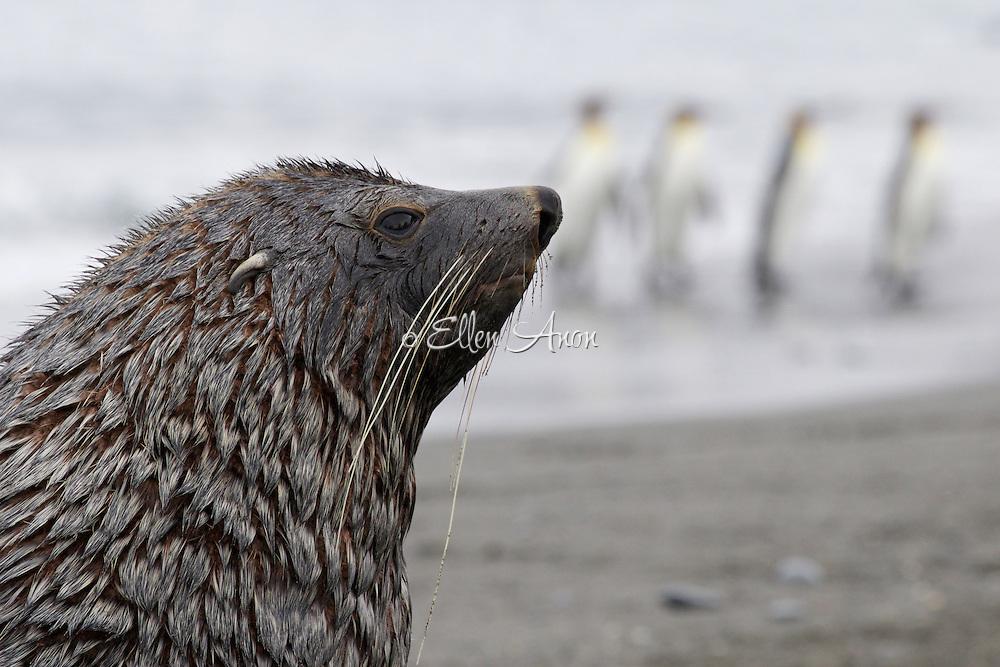 Fur seal and King penguins, South Georgia Island