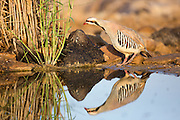 Chukar Partridge or Chukar (Alectoris chukar) Photographed in Israel, Near a water pool Negev desert
