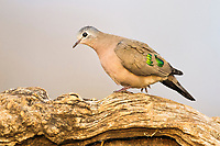 Emerald-Spotted Wood-Dove , Zimanga Game Reserve, KwaZulu Natal, South Africa