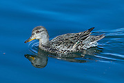 The Common Teal is the smallest dabbling duck alive, at 34-43 cm (13-17 in) length and with an average weight of 360 g