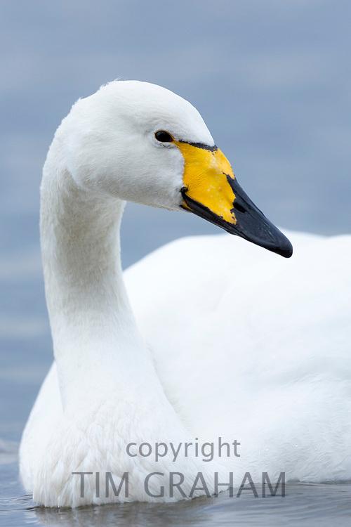 Whooper Swan, Cygnus cygnus, close up at Welney Wetland Centre, Norfolk, UK