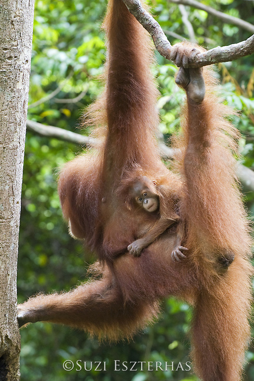 Sumatran Orangutan<br /> Pongo abelii<br /> 2 month old baby clinging to mother<br /> North Sumatra, Indonesia<br /> *Critically Endangered
