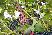 Nederland, Groesbeek, 17-9-2010Bij de biologische wijngaard Holdeurn is men bezig met voorbereidingen voor de druivenoogst van dit seizoen. Beschimmelde en aangetaste vruchten worden zoveel mogelijk weggeknipt. Het eerst gaan de druiven die het door de regen van de afgelopen tijd zwaar te verduren hadden eraf. Ondanks de korte zomer verwacht men een mooie oogst vanwege de vele zonuren. Ook stelt men de kwaliteit boven kwantiteit. Groesbeek noemt zich het wijndorp van Nederland omdat hier verschillende wijnboeren zitten. Ook zijn er elk jaar de wijnfeesten.Foto: Flip Franssen/Hollandse Hoogte