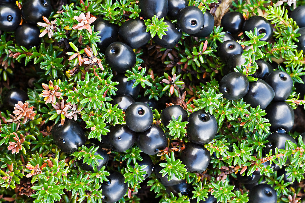 Closeup of Crowberry fruit in Chugach State Park, Eagle River in Southcentral Alaska. Fall. Afternoon.