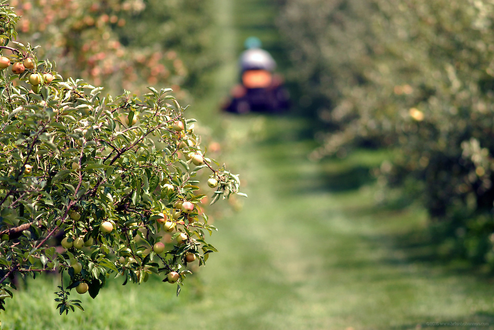 Mowing between rows of Honeycrisp apple trees..Kevan Evans, photographed Thursday, July 19, 2007, near Georgetown, Ky., at the Evans Orchard and Cider Mill. (RAW file available upon request.).Photo by Brian Bohannon/www.brianbohannon.com
