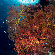 Beautiful, undamaged sea fans like this are characterstic of healthy tropical reefs. Photograph taken in the Eastern Fields of Papua New Guinea