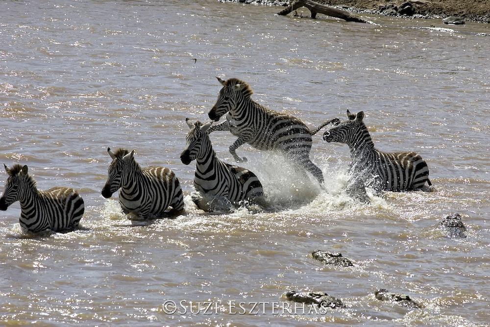 Nile Crocodile<br /> Crocodylus niloticus<br /> Hungry crocodile attacks zebra, sending zebra jumping into the air.<br /> Maasai Mara Reserve, Kenya